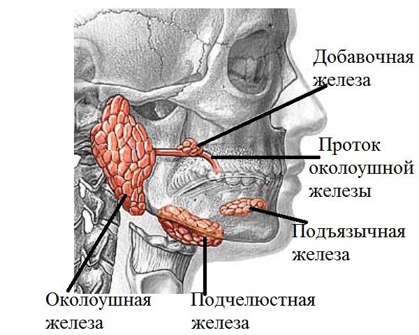 Снимки МРТ и КТ. Нормальные показатели слюнные железы