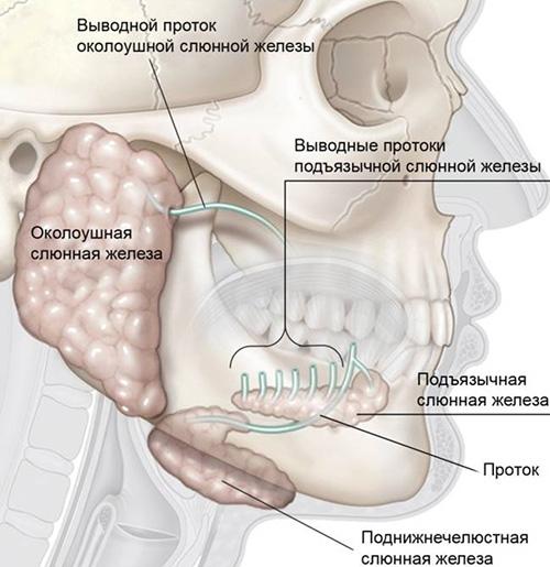 Снимки МРТ и КТ. Варианты развития слюнных желез