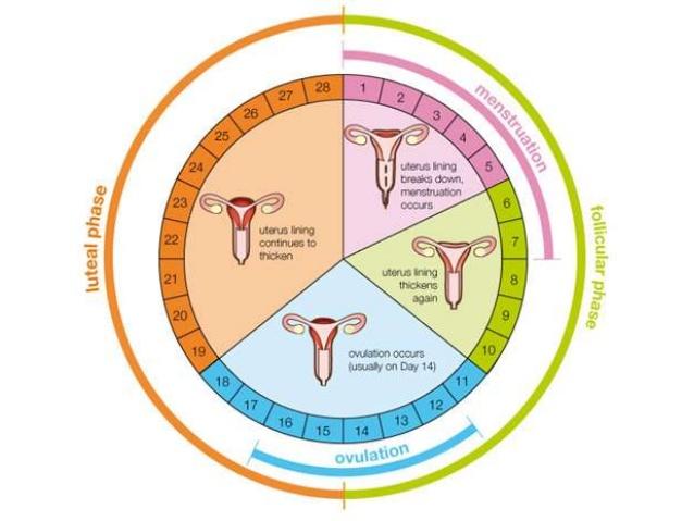 МРТ и менструации