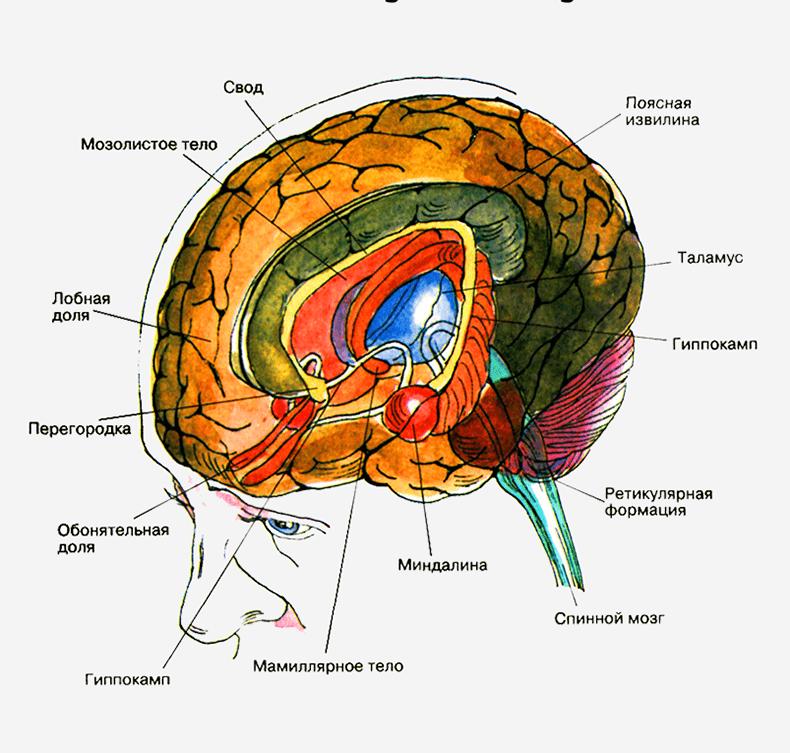 Снимки МРТ и КТ. Головной мозг