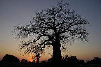 baobab-top-s.jpg
