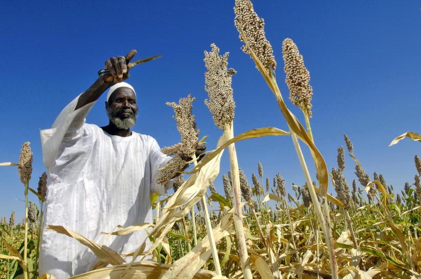 A local farmer in Sudan harvests, FAO
