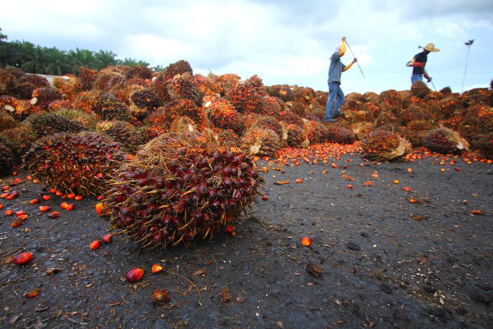 Palmolieteelt