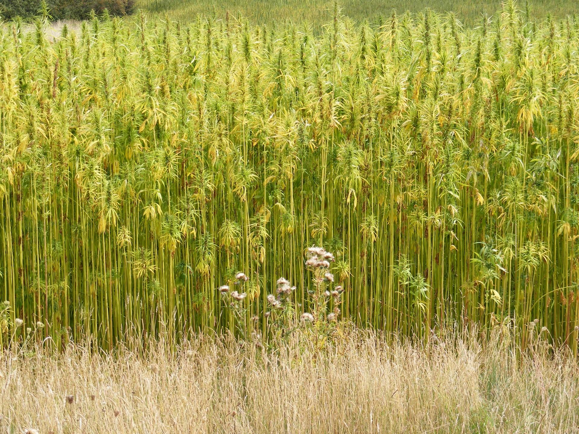 Een hennep veld