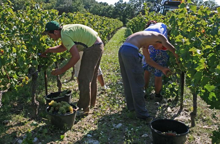 wijnboeren oogsten druiven in Argentinië