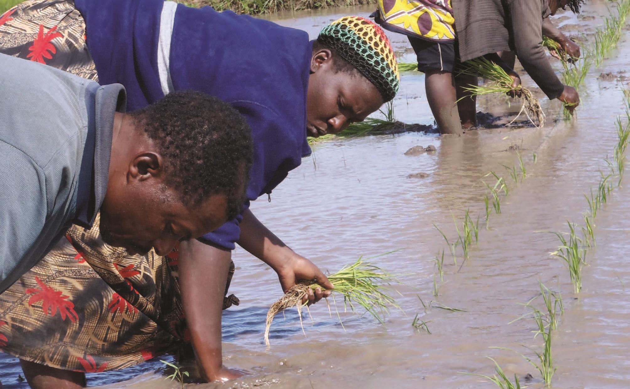 rijstplukken in Kenia