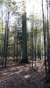 015-Honderdjarige-eik-temidden-van-jongere-bomen
