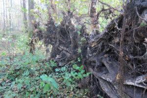 037-Zeer-vlakke-wortelkluit-van-een-fijnspar-in-een-nat-gedeelte-van-het-oerbos