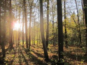 063-Zonsondergang-in-een-stuk-bos-wat-duidelijk-beheerd-wordt-en-waar-geen-dood-hout-aanwezig-is
