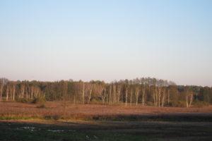 064-Berken-als-pioniers-in-het-dal-van-de-Narewka-nationaal-park-op-de-achtergrond