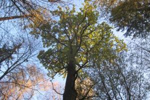 070-Honderdjarige-zomereik-die-gedeeltelijk-is-afgestorven