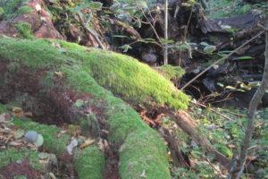 076-Boomwortels-raken-bemost-en-leven-soms-nog-even-door