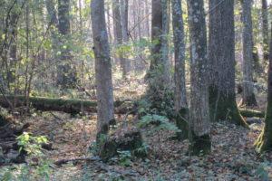 080-Haagbeuken-en-lindebomen-van-verschillende-leeftijden