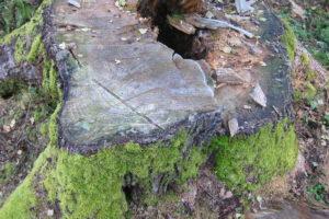 097-Deze-stobbe-was-bij-telling-van-de-jaarringen-omstreeks-130-jaar-oud-door-dat-de-boom-hol-was-kwamen-we-niet-verder-dan-98-jaar-qua-ringen