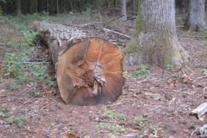 098-Oeps-per-ongeluk-een-heel-oude-dode-eiken-boom-mee-genomen-bij-het-kappen-toch-maar-laten-liggen