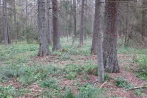 116-Met-rode-stippen-gemarkeerde-bomen-die-gekapt-moeten-worden-omdat-de-letterzetter-ze-heeft-aangetasst-is-er-daarna-nog-wel-bos-dan
