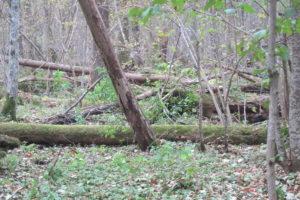 123-Neer-gestortte-essen-in-een-van-de-weinige-essenbossen