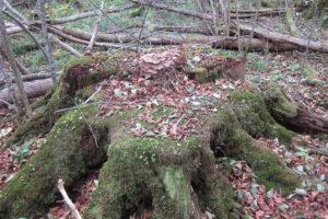 126-Zelfs-in-het-unieke-essenbos-zijn-door-houthakkers-in-het-verleden-bomen-weg-gehaald
