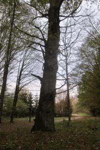 135-Reusachtige-eik-die-niet-in-een-dicht-opgaand-bos-is-opgegroeid
