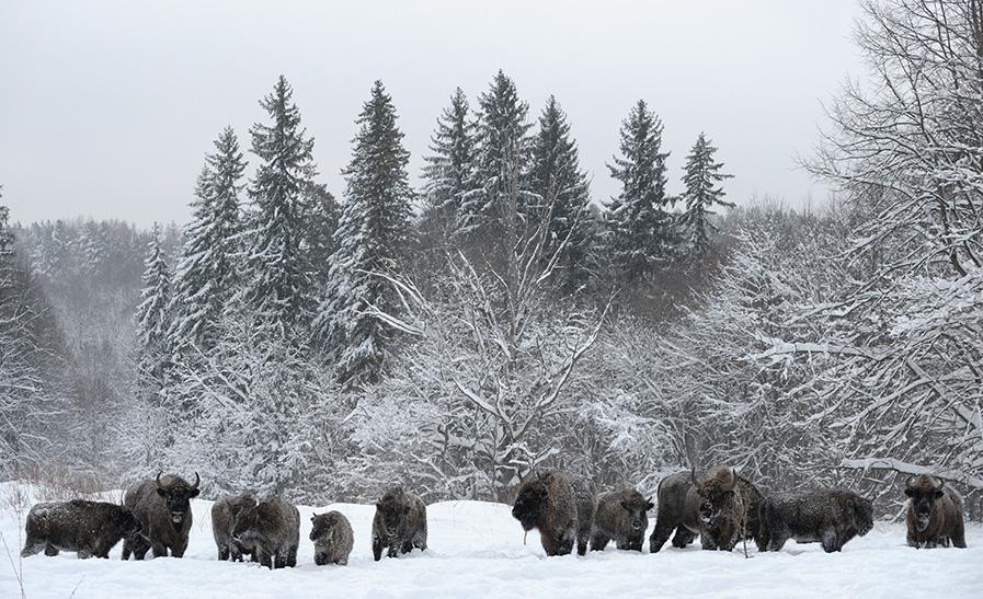 Een kudde wisenten 's winters in Kaloezjskië Zaseki