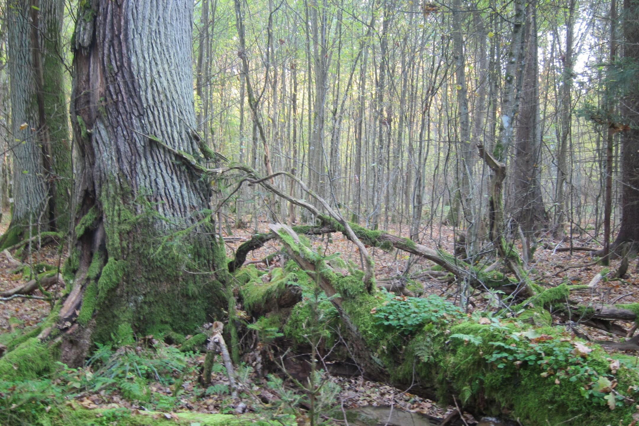 Oude eiken stammen