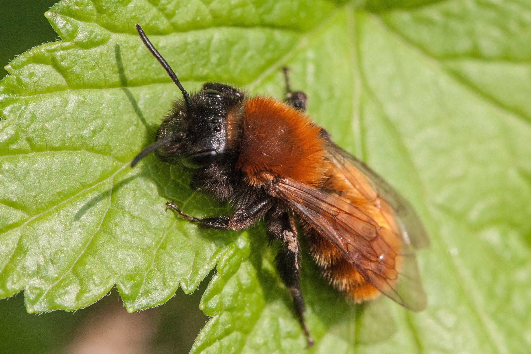 Het Vosje - Andrena fulva