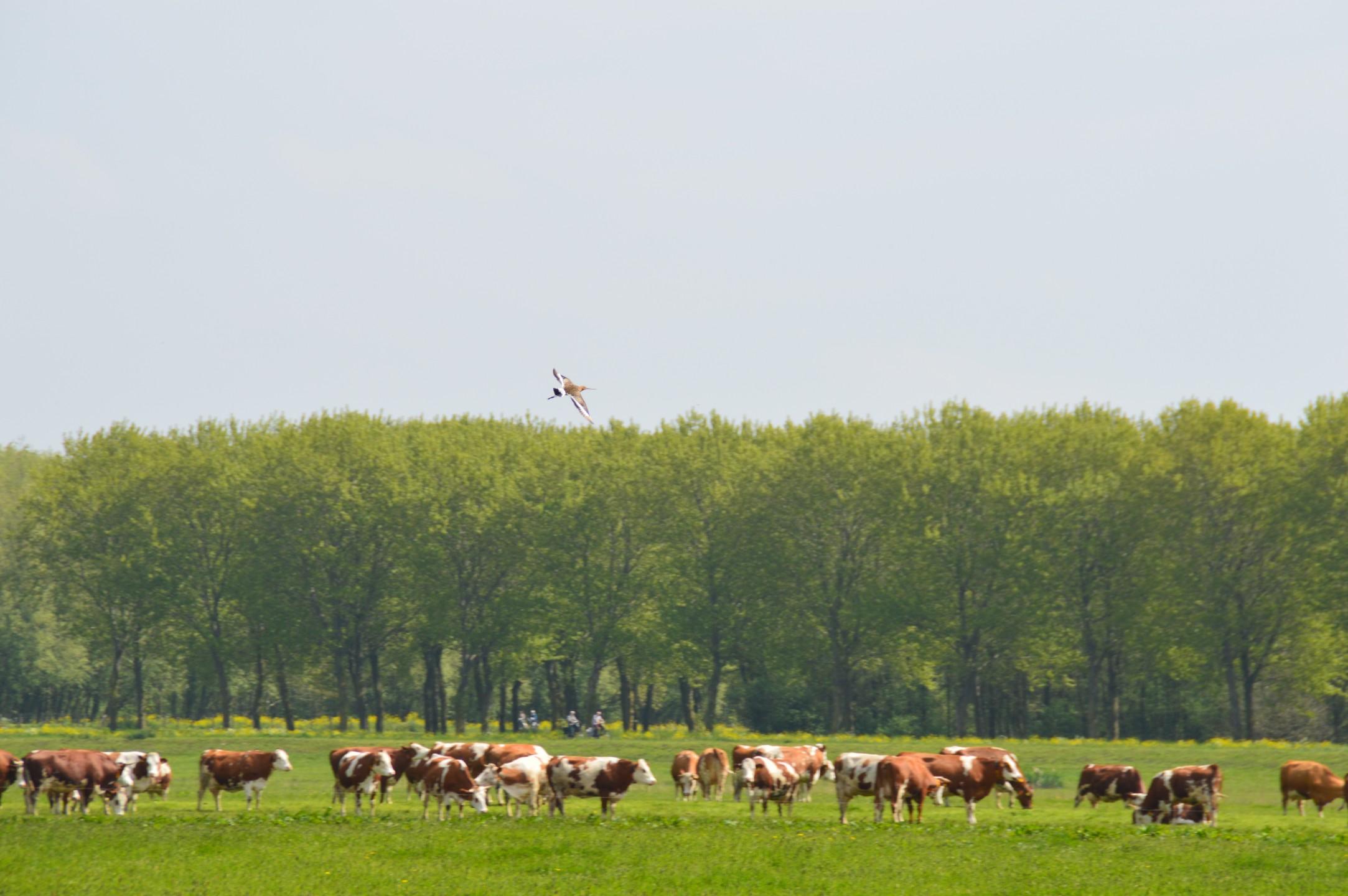 Grutto boven koeien bij Delft