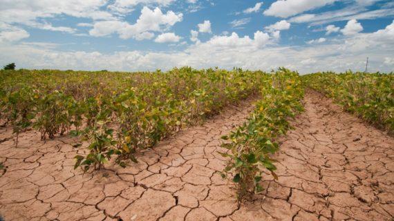 Sojabonen laten de effecten zien van langdurige droogte.