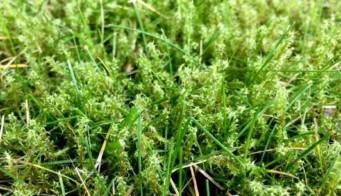 Lawn Moss