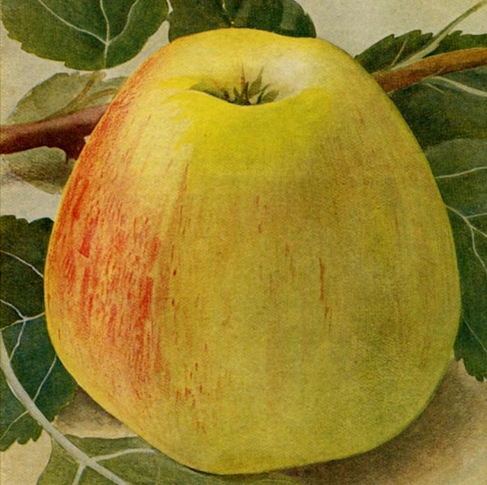 Lekker uit de hand én in appelmoes en taart