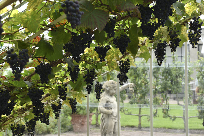 Rijke druivenoogst in de kassen van Villa Augustus