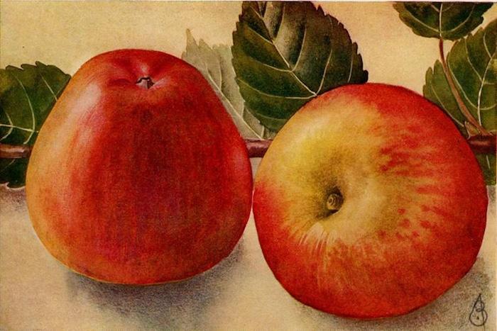 De Engelse Bellefleur: anders dan de naam doet vermoeden een Betuws appeltje
