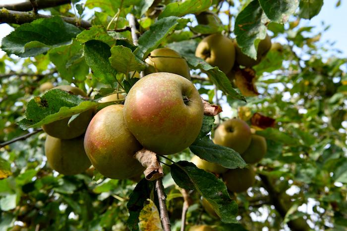 Friszuur en iets zoet. Laat zich zowel uit de hand als in appelmoes, rode kool en appeltaart goed smaken