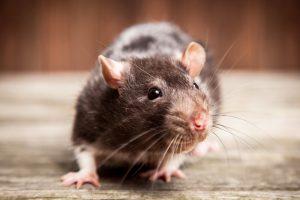 كيف يمكن القضاء على الفئران