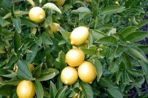 كيفية زراعة الليمون