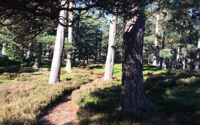 A path through a sunlit pine forest