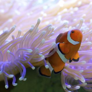 Clownfish, Great Barrier Reef, Australia