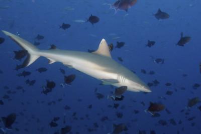 Grey Reef Shark, Maldives