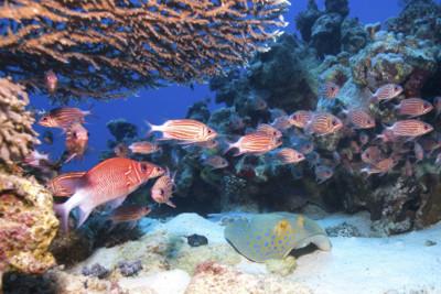 Hiding Stingray, Red Sea