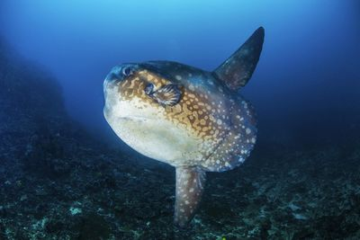 Mola Mola, or Oceanic Sunfish, spotted in Eastern Bali
