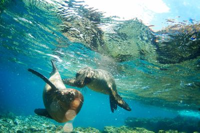 Diving with sea lions in the Galapagos