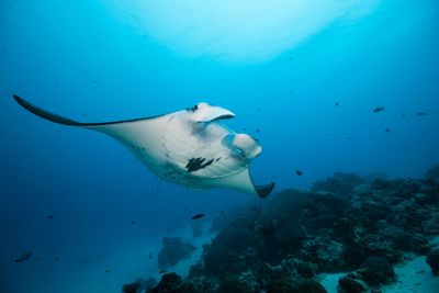 Reef Manta, Yap, Micronesia