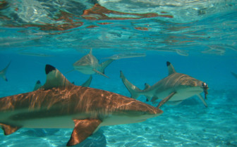 Picture of snorkelling with sharks in Bora Bora