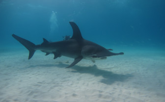 Picture of Hammerhead shark in Rangiora