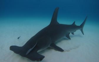 Picture of Hammerhead shark at Rangiroa