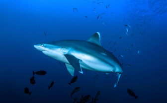 Picture of Whitetip shark in New Britain