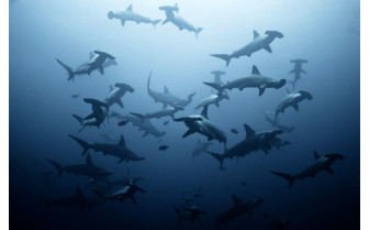 Picture of School of hammerhead sharks in Lombok