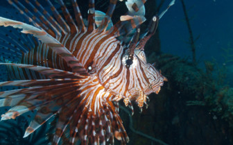 Picture of Lion fish Moyo Island