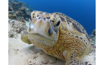Picture of Sipadan Seaturtle