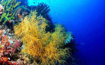 Picture of soft coral diving in Bohol